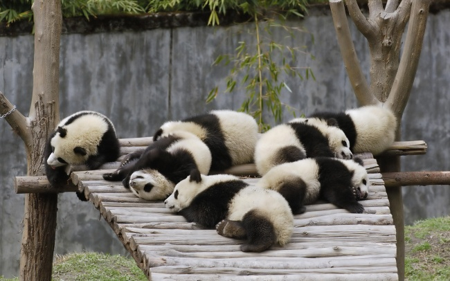 5955810-650-1453456196-Animals_Beasts_Sleeping_pandas_023512_ (650x306, 246Kb)