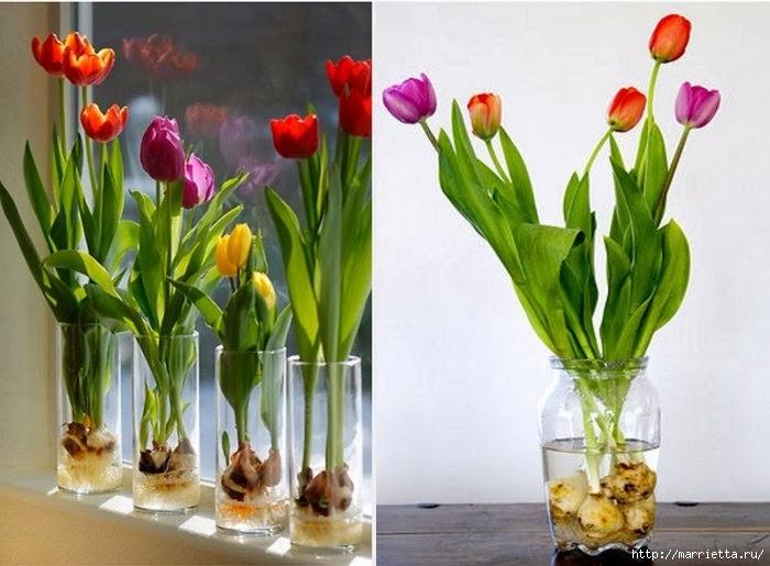 Выращивание тюльпанов в прозрачной вазе. И зимой, и весной.