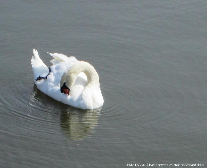 1 лебедь (700x568, 267Kb)