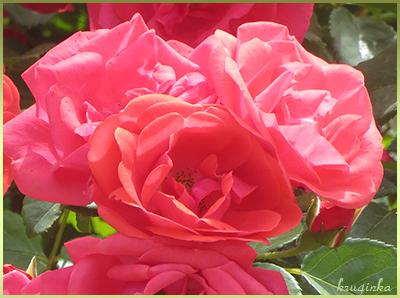 Шикарные-розы (400x298, 206Kb)
