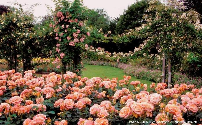 4587551_Regent_Park_rose_garden (700x433, 375Kb)