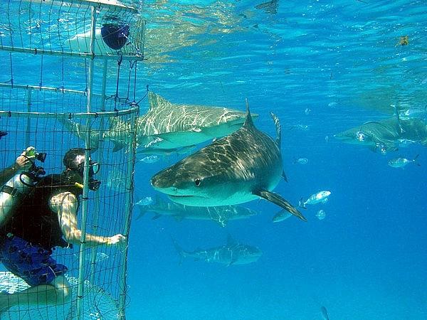 белые акулы фото 7 (600x450, 201Kb)