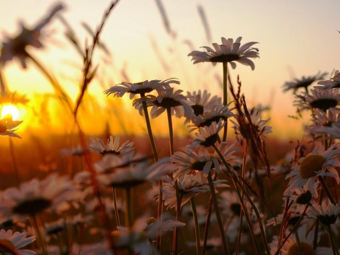 Полевые цветы на рассвете 98