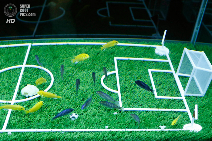 животные и футбол фото 4 (700x466, 559Kb)