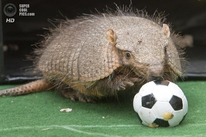 животные и футбол фото 7 (700x465, 350Kb)