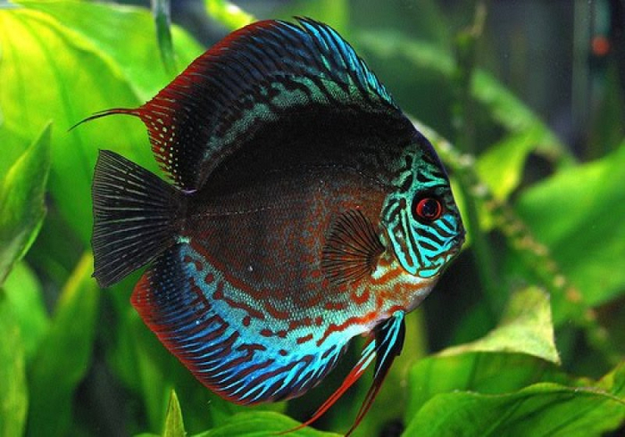discus_fish_turquoise_a (700x490, 375Kb)