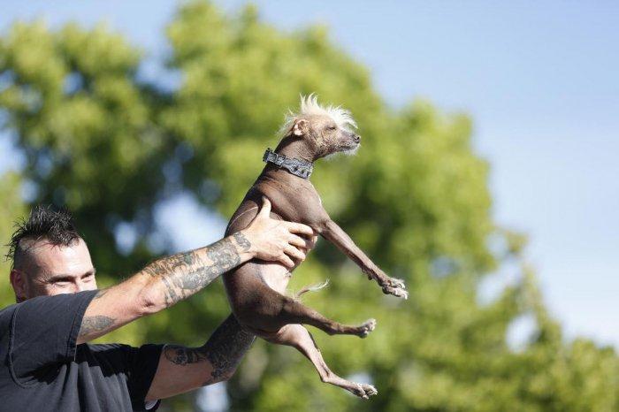 самая уродливая собака в мире 12 (700x466, 198Kb)