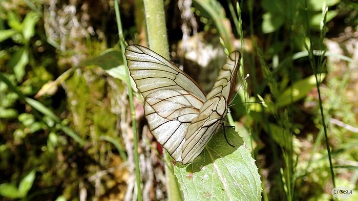Бабочка прозрачная (700x393, 292Kb)