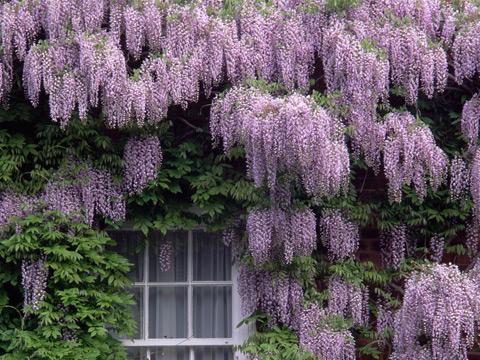 wisteria (1) (480x360, 118Kb)