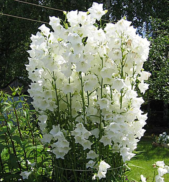 Большой белый колокольчик цветок фото