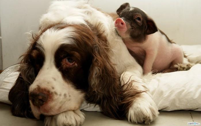dog-spaniel-pig-Favim.com-483054 (700x437, 64Kb)