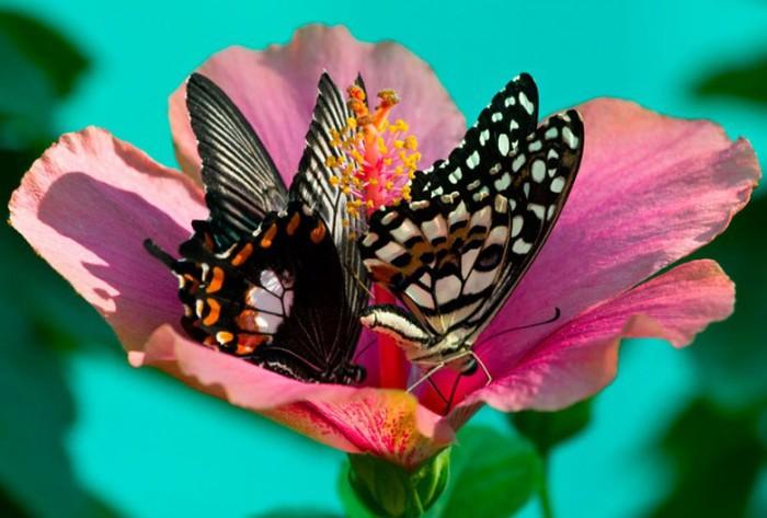 бабочки/1404510085_babochki (700x473, 75Kb)