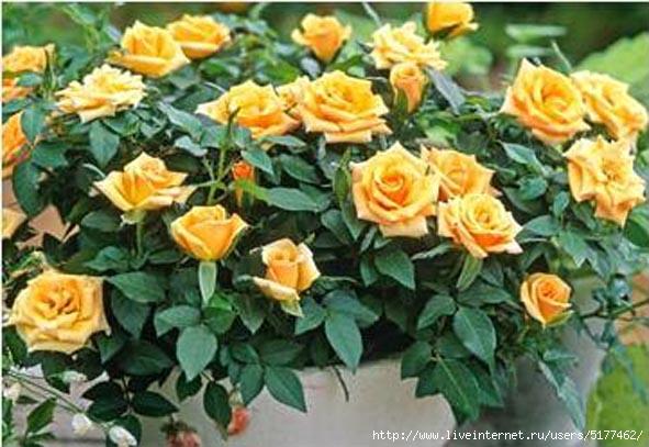 5177462_rose2 (591x407, 153Kb)