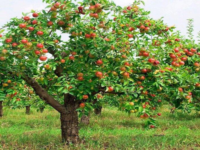 apple-tree (700x525, 166Kb)