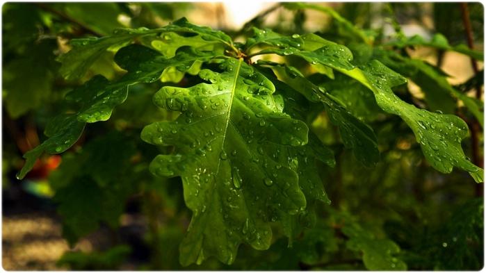 Листья дуба (700x393, 202Kb)