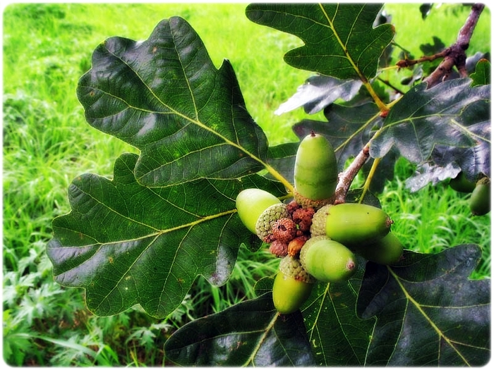 Quercus petraea (1) (700x525, 336Kb)
