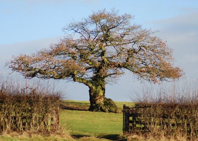 древний дуб в Англии (640x457, 98Kb)
