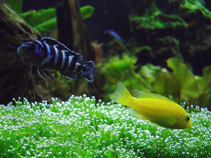 Аквариумные рыбки оказались намного умнее, чем считалось