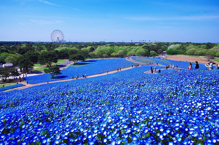 nemophilas-field-hitachi-seaside-park-7 (700x463, 202Kb)