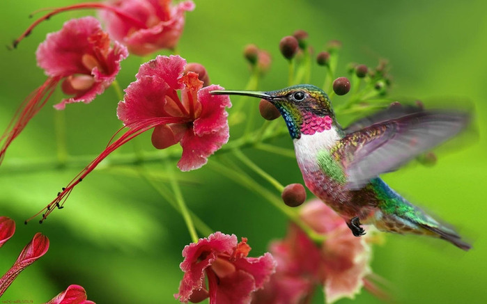 humming_bird_03 (700x437, 87Kb)