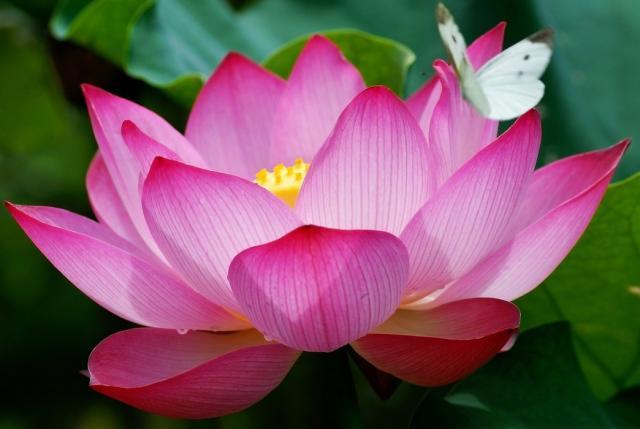 лотос фото розовый