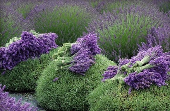 82111835_large_lavenderharvest_resize (610x398, 286Kb)