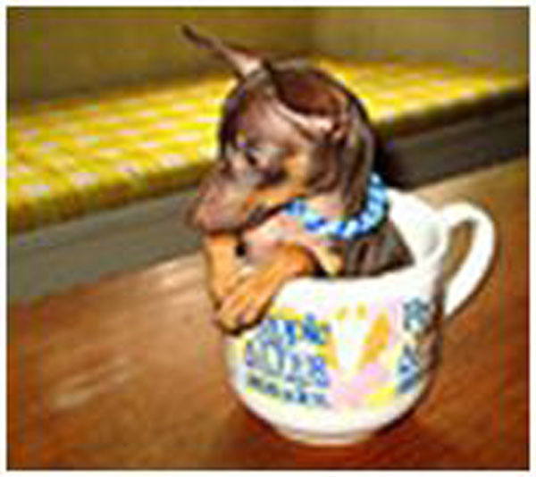 pup in a cup angel песик (600x534, 72Kb)