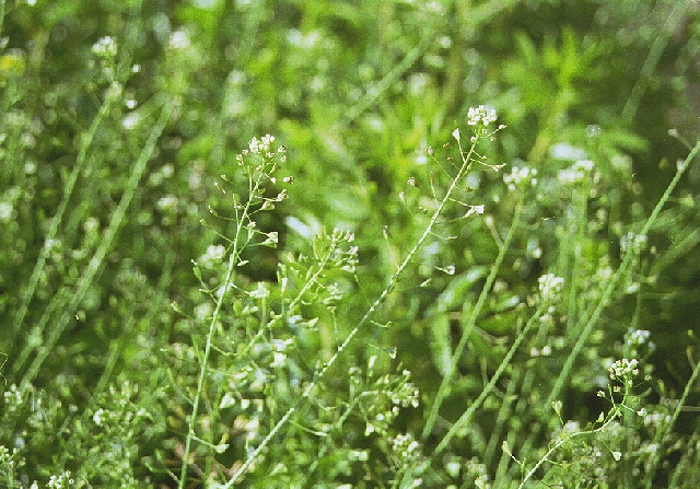 capsella-bursa-pastoris-3 (620x447, 458Kb)