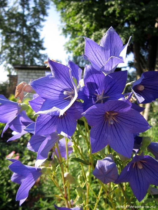 цветы, дача (1) (525x700, 337Kb)