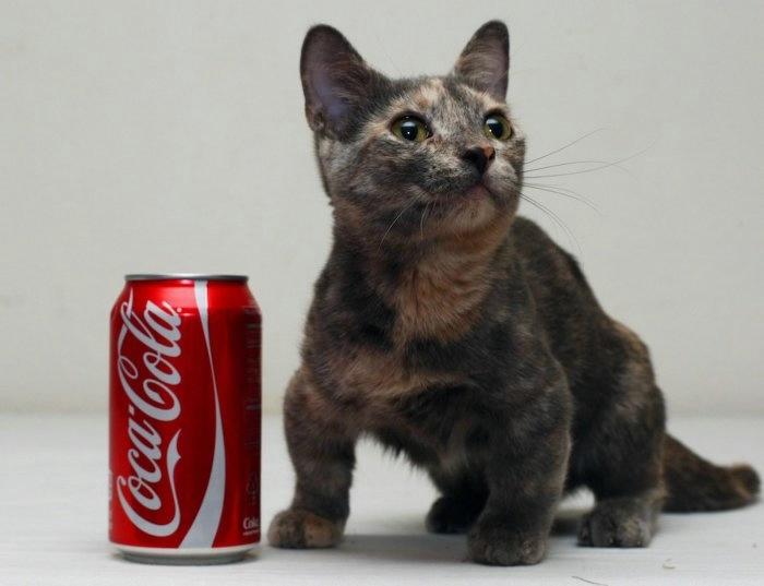 кошка пиксель породы манчкин фото 3 (700x537, 88Kb)