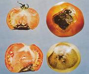 столбур помидоров (180x150, 8Kb)