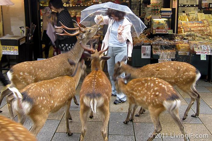 олени в японском городе нара фото 1 (700x465, 453Kb)