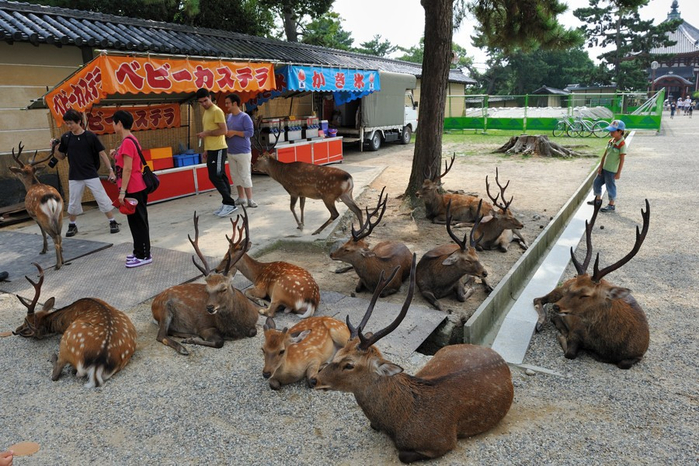 олени в японском городе нара фото 6 (700x466, 431Kb)