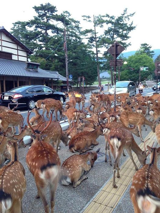 олени в японском городе нара фото 8 (525x700, 478Kb)