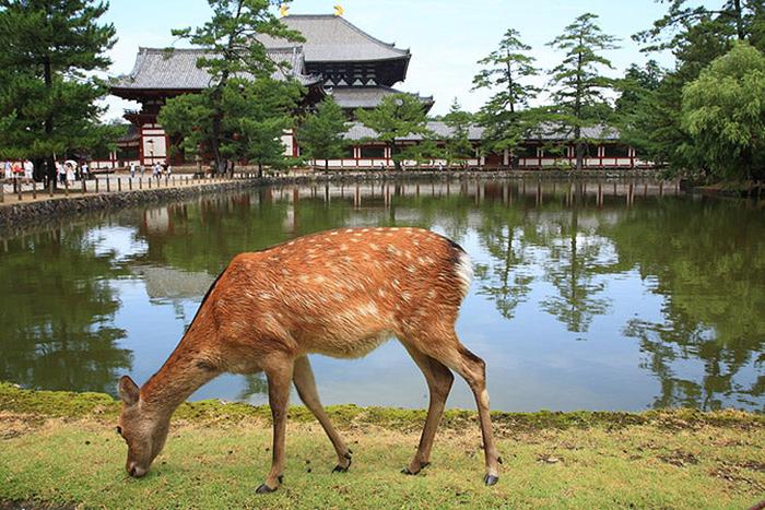 олени в японском городе нара фото 10 (700x467, 482Kb)