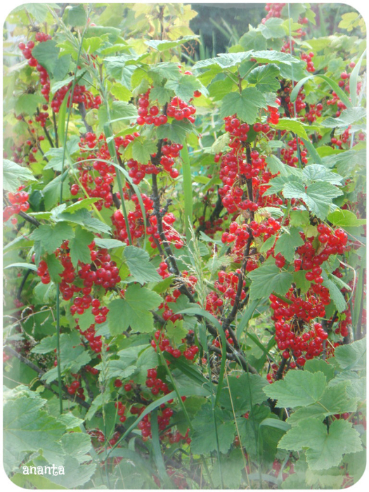 red_currant (525x700, 563Kb)