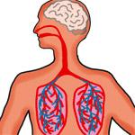 Анатомия - легкие (150x150, 37Kb)