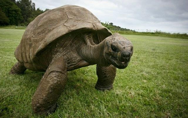 черепаха джонотан фото 2 (640x400, 149Kb)