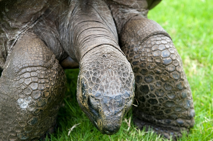 черепаха джонотан фото 4 (700x466, 275Kb)