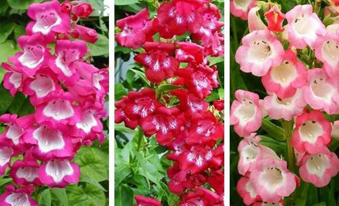Многолетний цветок пенстемон