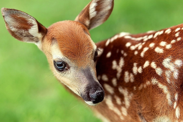 фото олененка бэмби