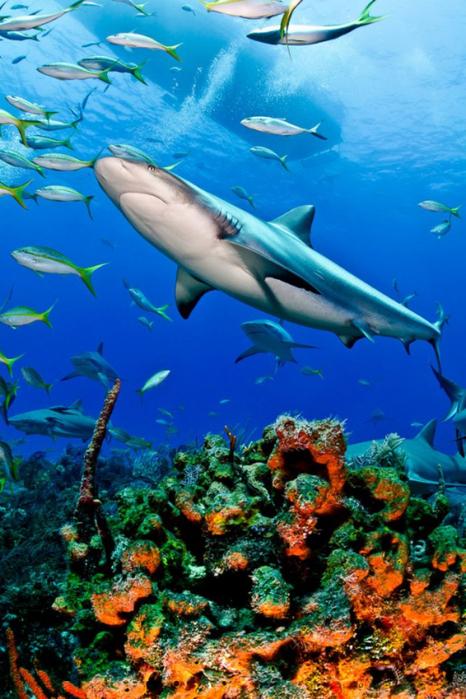 фото акул 1 (466x700, 437Kb)