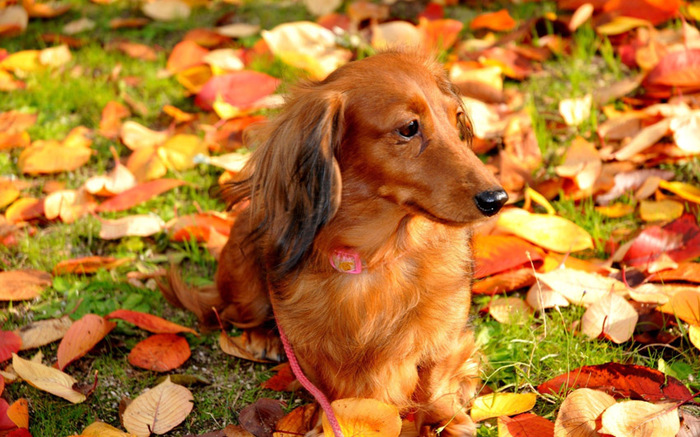 dachshund_01 (700x437, 167Kb)