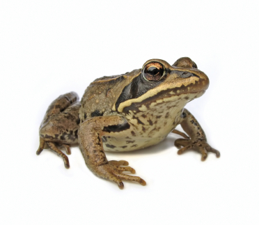 frog_real (372x323, 110Kb)