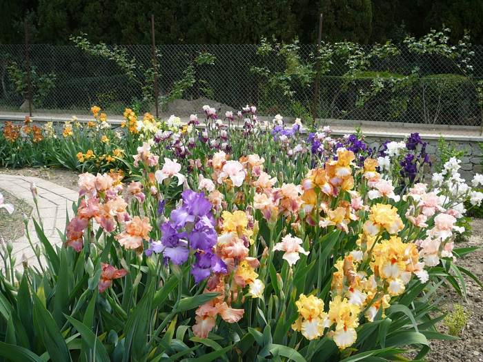 цветы ирисы фото 1 (700x525, 576Kb)