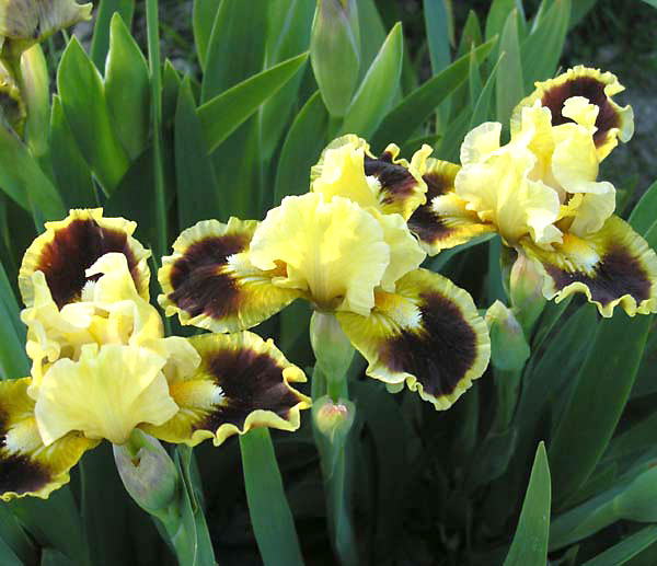 цветы ирисы фото 10 (600x517, 213Kb)