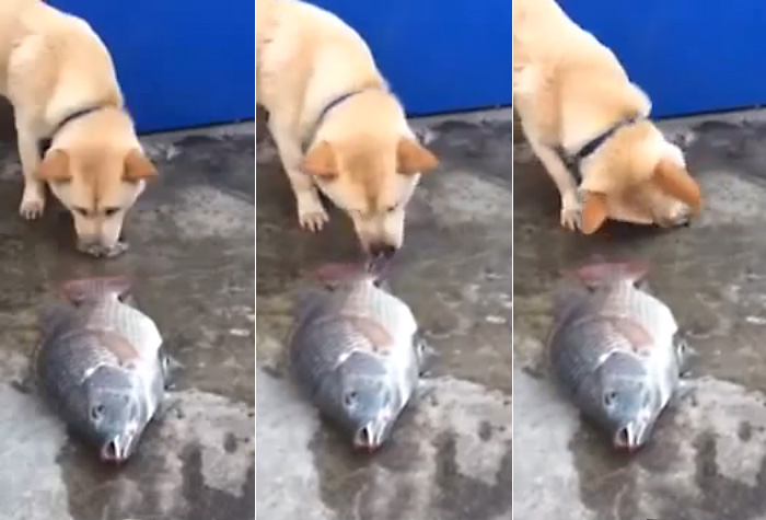 dog-tries-to-save-fish (700x475, 78Kb)