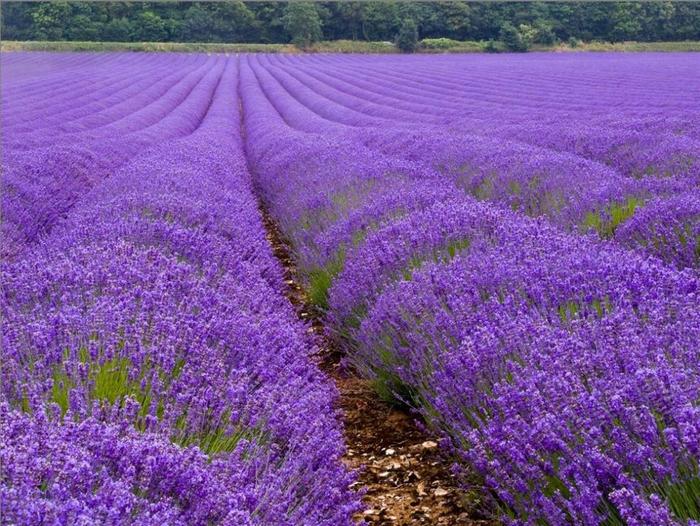 Lavender-fields19 (700x526, 500Kb)
