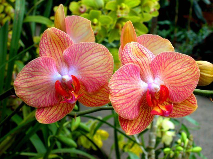 1408204534_Phalaenopsis (685x511, 64Kb)