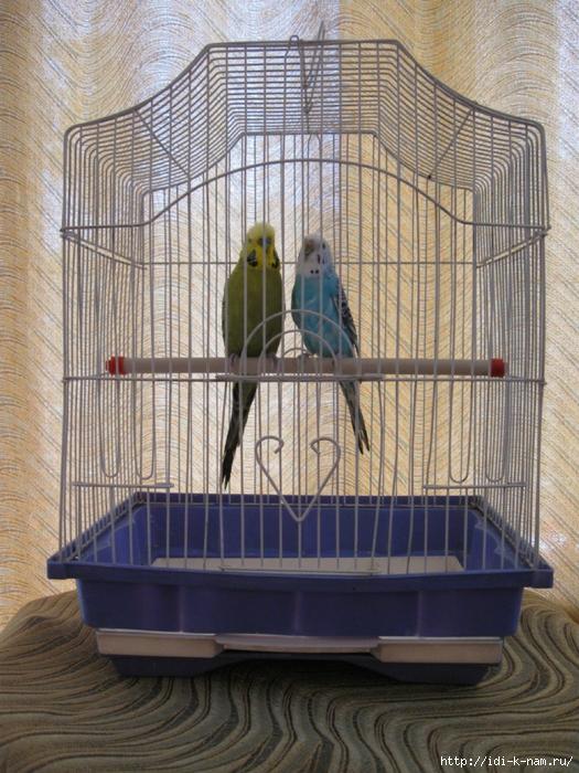 как размножаются попугаи, как размножить попугайчиков, фото попугайчиков в домике в гнезде, как выглядят яйца волнистых попугаев, фото птенцов волнистых попугайчиков,
